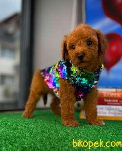 Safkan Red Brown Toy Poodle Oğlumuz Pody  Yavrupatiler 3