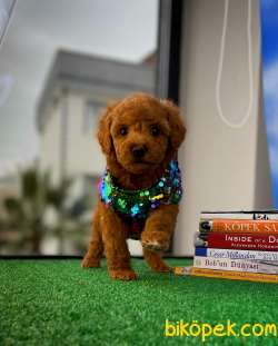 Safkan Red Brown Toy Poodle Oğlumuz Pody  Yavrupatiler