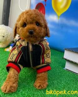 Safkan Red Brown Toy Poodle Oğlumuz Tody Yavrupatiler 4