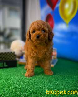 Safkan Red Brown Toy Poodle Oğlumuz Tody Yavrupatiler 3