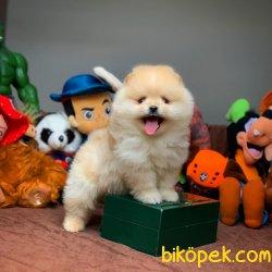 Safkan Saglık Garantili Pomeranian Yavrularımız