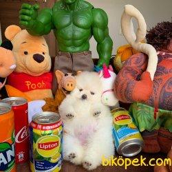 Safkan Saglık Garantili Pomeranian Yavrularımız 2