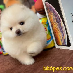 Safkan Saglık Garantili Pomeranian Yavrularımız 1