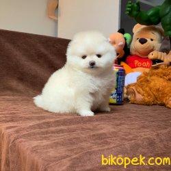 Safkan Saglık Garantili Pomeranian Yavrularımız 5
