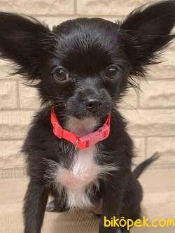 Safkan Scr'li Chihuahua Pamuk Kızımız 4