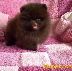 Safkan Şecereli Ayi Surat Pomeranian Yavrumuz