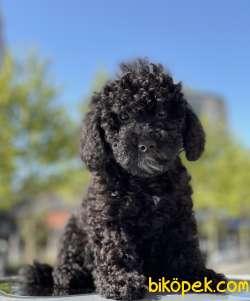 Safkan Siyah Toy Poodle Yavruları