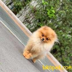 Safkan Soydan Pomeranian BOO Yavrumuz