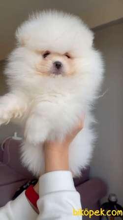 Safkan Teddybear Pomeranian BOO Oğlumuz Pofuduk / Yavrupatiler