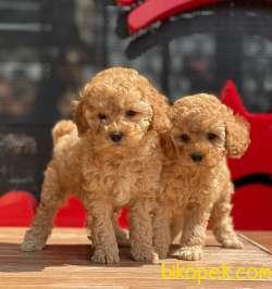 Safkan Toy Poodle Yavrularımız