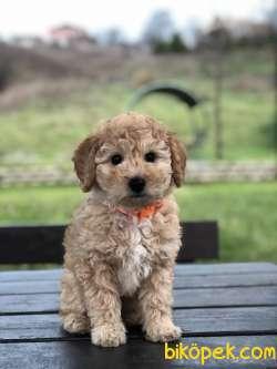 Safkan Toy Poodle Yavrumuz 2