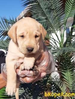 Sağlık Ve Irk Garantili Labrador Retriever Yavrulari