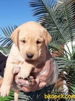 Sağlık Ve Irk Garantili Labrador Retriever Yavrulari 3