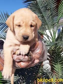 Sağlık Ve Irk Garantili Labrador Retriever Yavrulari 2
