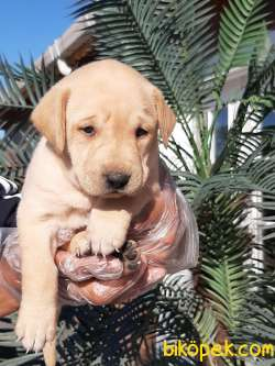Sağlık Ve Irk Garantili Labrador Retriever Yavrulari 4