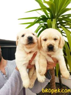 Şampanya Rengi Labrador Retriever Yavrular
