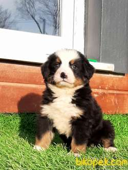SATILIK  BERNESE MOUNTAIN DOG (EVE TESLİM)