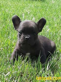 SATILIK BLACK FRENCH BULLDOG YAVRULARI