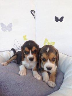 Eli̇zabeth Beagle Yavrular