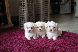 ✔️ Kar Beyaz Maltes Terrier ✔️ SATILIK YAVRU KÖPEK 3