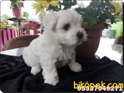 Satılık Maltese Terrier Bebeklerimiz Yeni Ailelerini Bekliyor