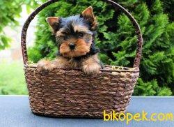 Satilik Tea Cup Yorkshire Terrier Yavrulari 3