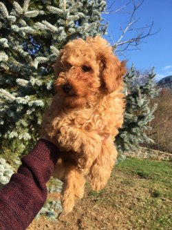 Satılık Toy Poodle Yavruları Çiftlikten