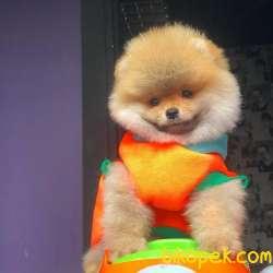 SCR Belgeli-Microchipli-Teacup Pomeranian BOO Yavrularımız