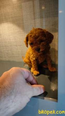 Scr'li Toy Poodle Yavrular