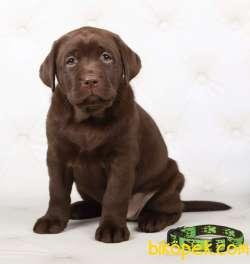 Şecereli Labrador
