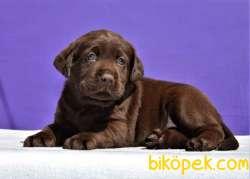 Şecereli Labrador  Retriever