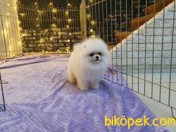 Secereli Pomeranian Boo Eğitimli Show Kalite