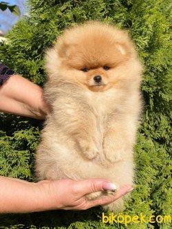 Secereli Teddy Bear Pomeranian Boo