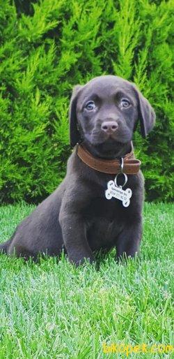 Sevimli Çikolata Labrador Yavrularm
