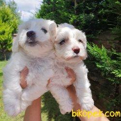 Sevimli Maltese Yavrular