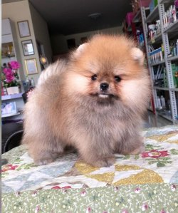 Sevimli Pomeranianlar