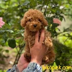 Sevimli  Red Toy Poodle Erkek Yavrumuz