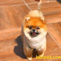 Show Class Secereli Pomeranian Boo