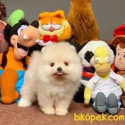 Show Class Secereli Pomeranian Yavrularımız
