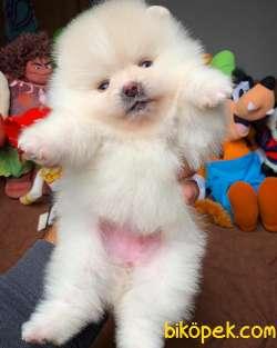 Show Class Secereli Pomeranian Yavrularımız 5