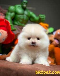 Show Class Secereli Pomeranian Yavrularımız 1