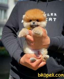 Show Class Secereli Pomeranian Yavrularımız 4