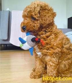 Show Class Secereli Toy Poodle Yavrularımız 4