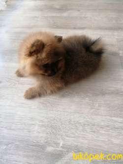Show Kalite Pomeranian Yavrular