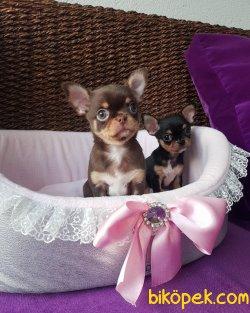 Show Kalite Tea Cup Chihuahua Yavrularımız