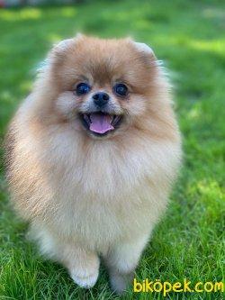 Showclass Pomeranianboo