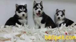 Sıbırya Kurdu Husky Yavruları 3