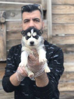 Sibirya Kurdu Yavrularımız