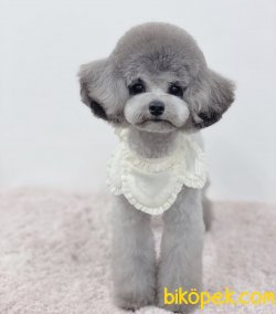 Silver Toy Poodle En Güzeli
