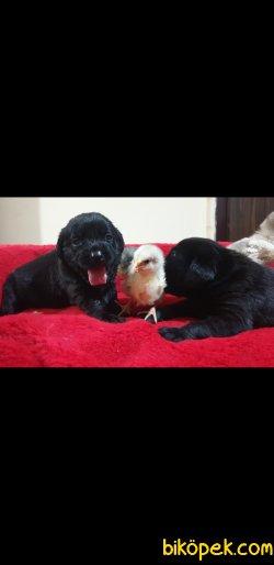 Siyah Labrador Yavrularımız 5